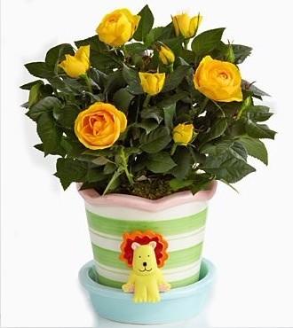 Baby Rose Plants